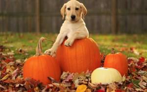 Lab Puppy With Autumn Pumpkins