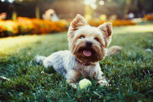 Yorkshire Terrier Image