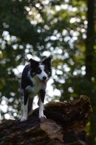 search and rescue dogs border collie