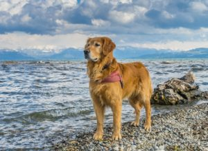Search and Rescue Dogs Golden Retriever